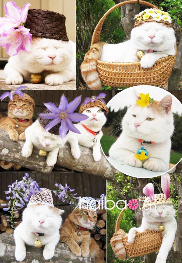 偶素一只爱花花的杨二车娜猫!日本明星宠物猫