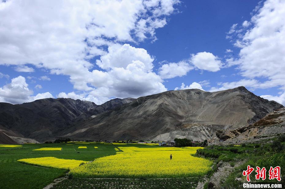 西藏边防行――藏区六月菜花香(组图)