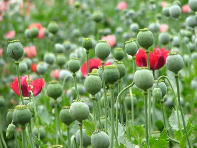 于罂粟这种植物