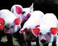近十年猪价走势图 今日辽宁生猪猪价走势 - 点击图片进入下一页