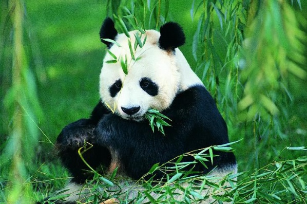 大熊猫资料图片