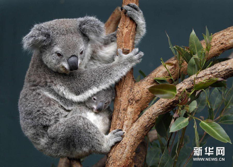 bt无码动物下载_这是6月28日在澳大利亚悉尼一动物园拍摄的考拉.