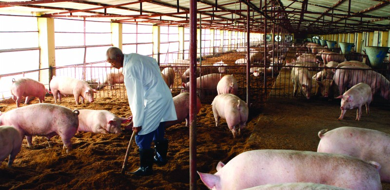 山东养猪场利润率超100% 业界担忧暴涨暴跌(图)