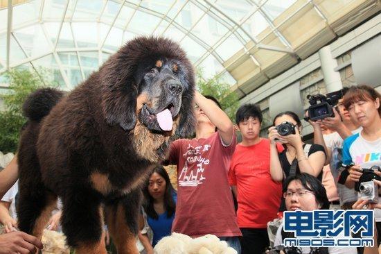 改编自杨志军畅销小说《藏獒》的动画冒险电影《藏獒多吉》于6日在京