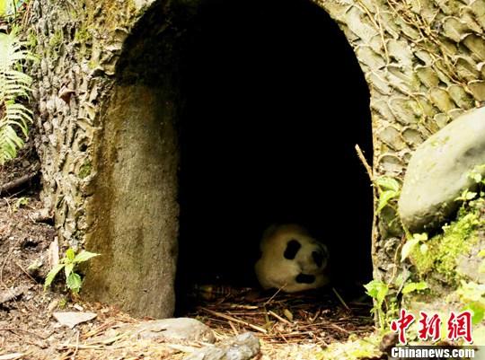 """海归大熊猫""""苏琳""""产下今年首胎幼仔 母子平安"""