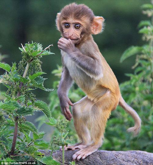 """野生动物园里捕捉到了猕猴幼仔""""探索""""世界的可爱场"""
