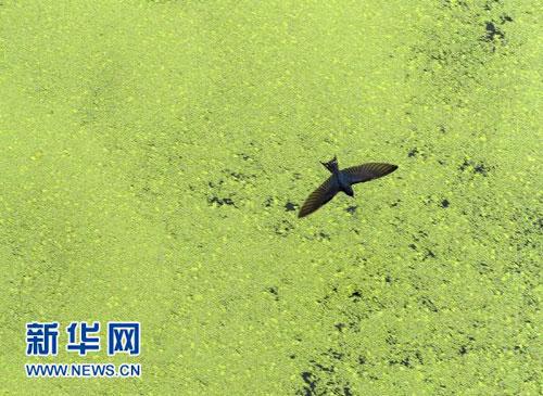 7月12日,一只飞鸟掠过江苏连云港市东盐河蓝藻聚集的水面。