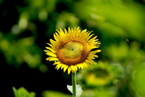 来到葵花区,拍葵花时,正好有一只蜜蜂飞过