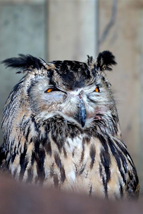 这个忘记是什么种类的猫头鹰了,不过很像《猫头鹰王国:守卫者传奇》中的反派首领