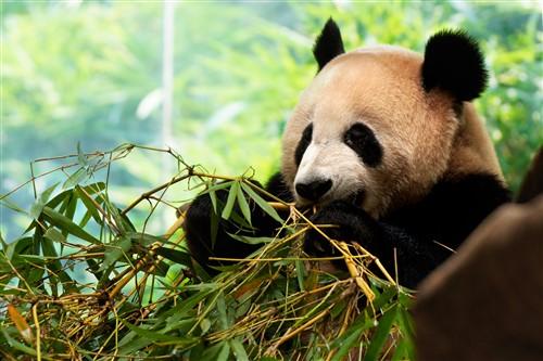 不过这里的阿宝只吃竹子