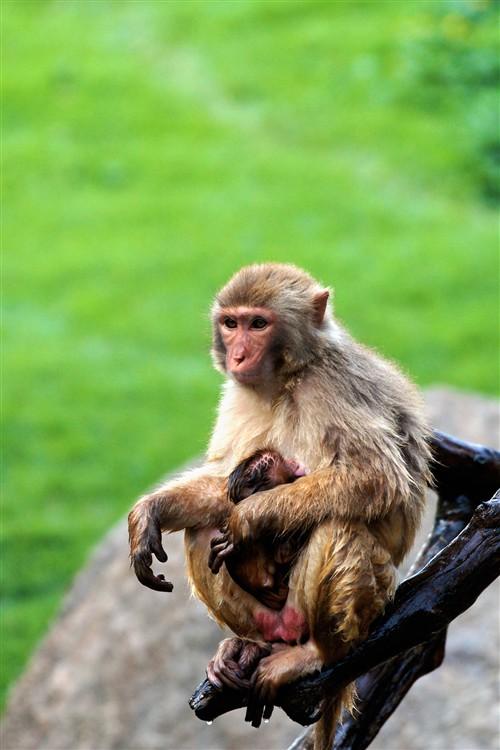 还是这只猴子,怀里的小猴子似乎刚从水里爬上来