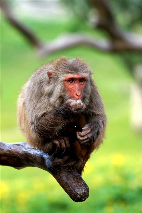 使用A35的7张/秒连拍抓拍猴子进食瞬间