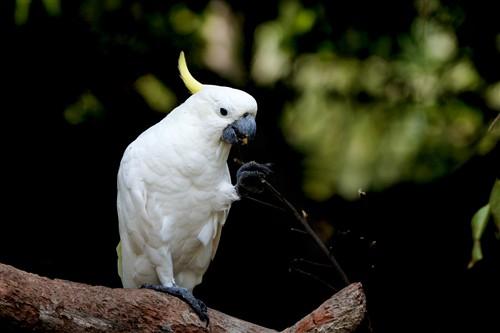 聪明的白鹦鹉正抓着树枝进食