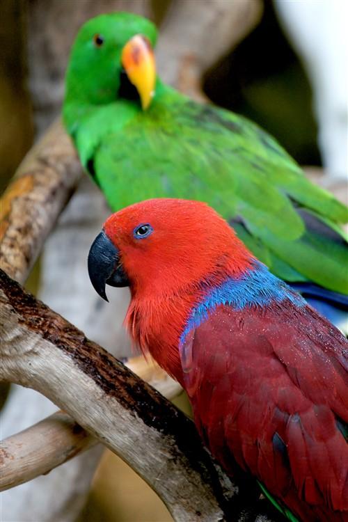 这只红鹦鹉一直用凶狠的眼神瞪着我