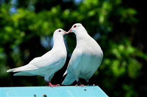 绿荫下,一对正在接吻的鸽子