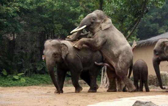 性交��.�9l����[��_罕见的动物性爱 实拍令人瞠目结舌的大象交配(组图)