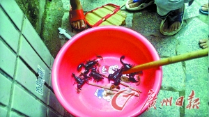 住户保存了一些清理出来的蝎子。