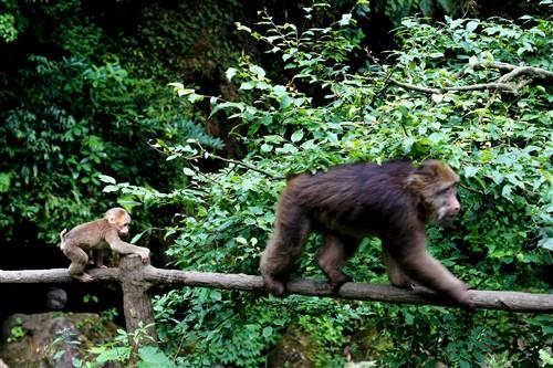 一只小猴子正屁颠屁颠跟在它老妈后面