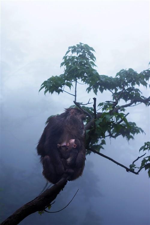 一只在两千多米的绝壁上给小猴子喂奶的母猴