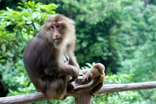 四川峨眉山游记:最霸道最无赖的猴子