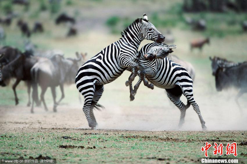 拍摄的野生动物打斗