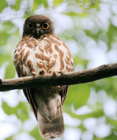 野生鹰鸮是国家二级保护动物.资料图