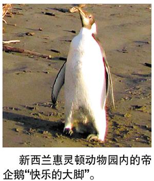 """据新华社电 新西兰惠灵顿动物园说,动物园打算在今后几周内放生帝企鹅""""快乐的大脚""""。"""