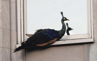 """中新网8月4日电据台湾""""中广新闻网""""4日报道,美国纽约中央公园动物园里的一只孔雀,逃家一天之后自动归巢,它不只具有冒险精神,方向感也很好。"""