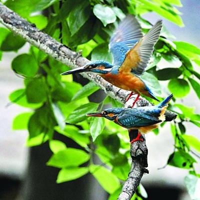 鸟偷拍_衔鱼示爱,翠鸟交配被偷拍(组图)
