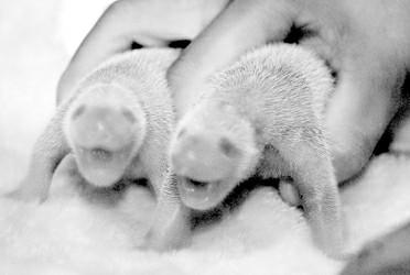 图为8月4日拍摄的龙凤胎大熊猫 薛玉斌
