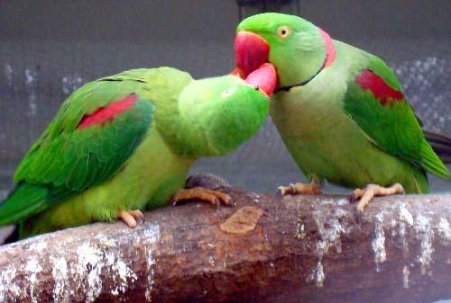 """8月6日,江苏苏州动物园内的鹦鹉""""情侣""""在笼舍内相依相偎,情意绵绵"""