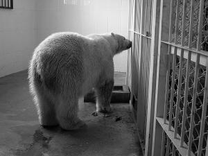 """城市晚报讯 雪白的毛、庞大的体型、宽宽的脚掌……昨日,在长春市动植物公园,记者见到了刚刚在长春安家的一岁零八个月的北极熊。它矫健、优雅的体态,是个标准的""""帅哥""""。"""