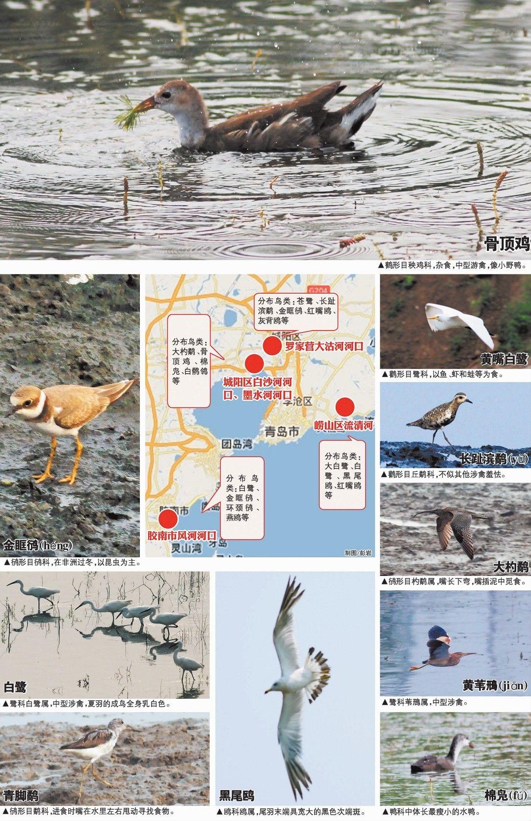 近日,中国海洋大学的7名在校大学生在专家老师的指导下,实地探访了青岛5处河口湿地,通过观察拍照,统计出分布在5个湿地的5目 13科36种鸟类,绘制出可以说是岛城第一张非专业版的青岛夏季湿地鸟类分布图。对此,岛城鸟类专家表示,岛城目前还没有专门介绍湿地鸟类分布情况的资料,学生此次调查取得的分布图虽然不够专业也不够全面,但对观察研究岛城夏季湿地鸟类有很大帮助,对唤起广大市民保护湿地爱护动物也有重要意义。   大学生耗时一周拍下36种鸟靓照   从8月8日开始,来自中国海洋大学的水产、生命及食品学院的7名0