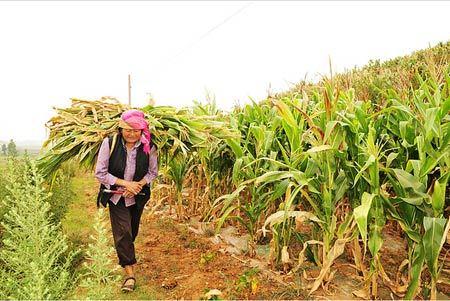 直击2011宣威夏旱 农业生产遭受重大损失(组图)图片