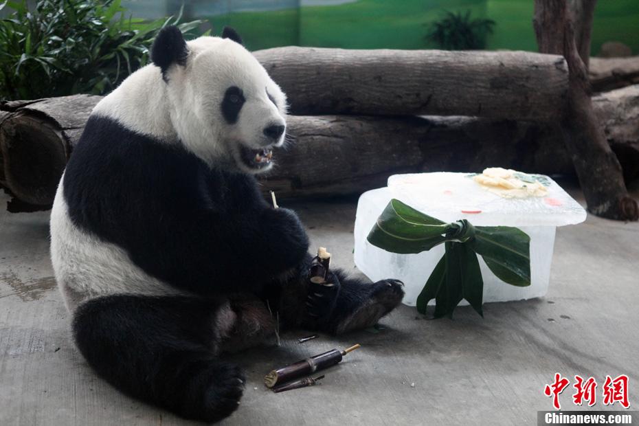 """8月27日,台北市立动物园在台湾的祖父母节这一天,提前为大熊猫""""团团""""、""""圆圆""""庆祝7岁生日。图为""""团团""""享用""""生日蛋糕""""。中新社发 刘舒凌 摄"""