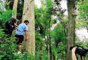 兴安县再次发现珍贵楠木(图)图片