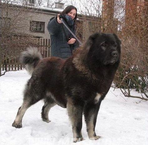 高加索犬:世界上体型最大的狗(组图)