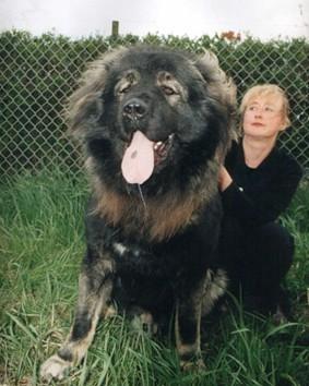 """体型最大的狗排行榜_图高加索犬:世界体型最大的狗被称""""犬中之王"""""""