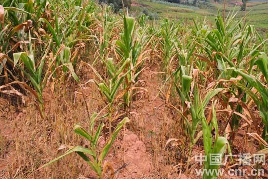 小沙邑村水稻受旱
