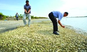 9月1日,河北唐山乐亭县,羊角村的两位村干部站在大片死亡的贝壳上。当地养殖户认为康菲事故导致水产品死亡,但是维权仍很难。赵建中 摄
