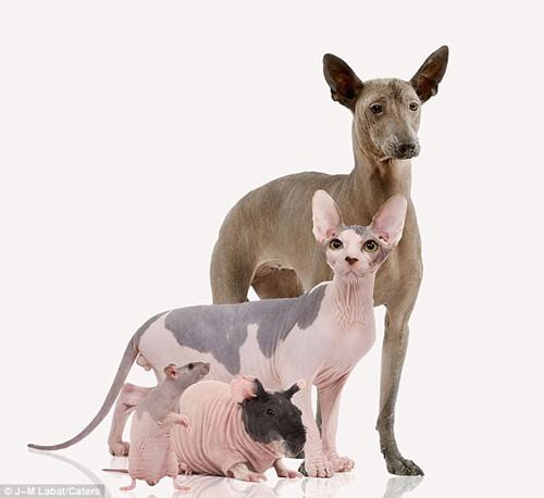 毛犬 动物/没毛也自豪:秃毛动物全家福(墨西哥无毛犬、斯芬克斯猫、豚鼠...