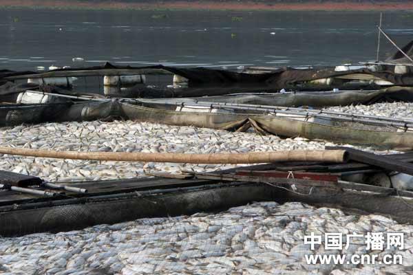 大面积的死鱼已经填满了养殖水箱