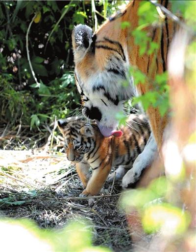 9月9日,母虎在巢穴旁边舔舐虎仔。 新华社发