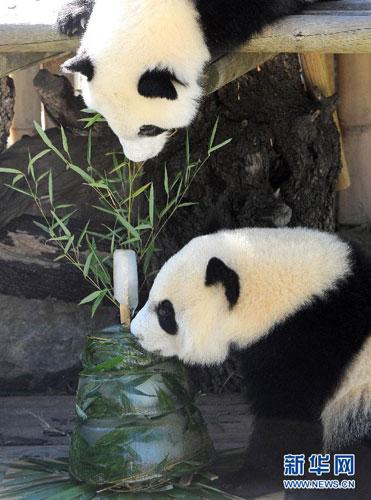 """9月9日,在西班牙马德里动物园,大熊猫双胞胎正在品尝它们的生日蛋糕。这对大熊猫幼崽是旅居西班牙的大熊猫""""冰星""""和""""花嘴巴""""的后代,是第一对在海外通过人工受精繁育的孪生大熊猫。 新华社/法新"""
