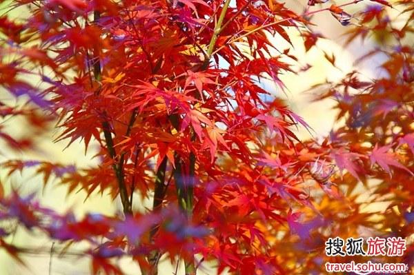 香山红叶 图片来源:搜狐博客 感谢!