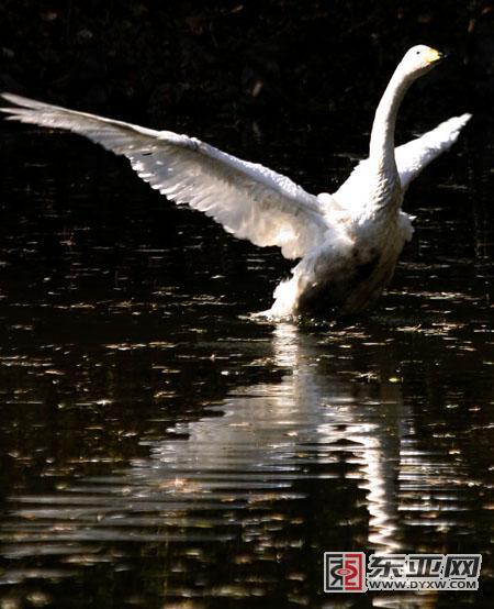 手工种子贴画图鹅-长春地区共有277种鸟 你对鸟儿了 <IMG>