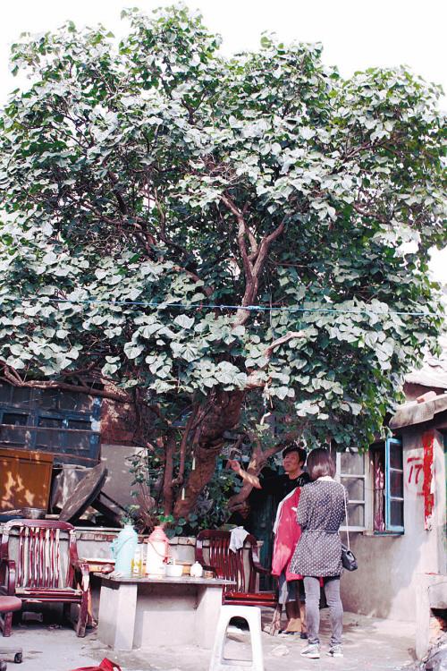 老丁香树比房子还高穿心莲大枣山茱萸鸡血藤图片
