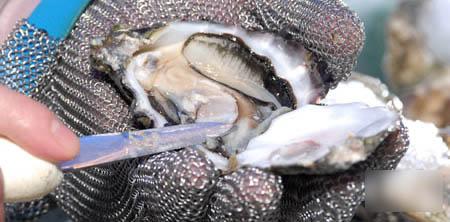 用蚝刀在蚝壳嘴位用刀向上一撬,就能轻易打开蚝壳。