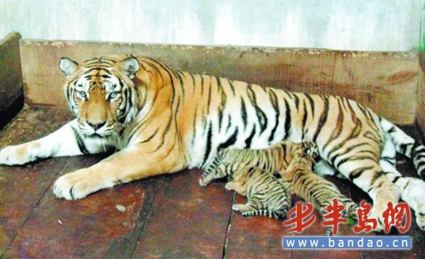 一对小老虎在一起玩耍,看起来十分可爱.