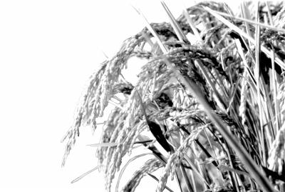 水稻世界纪录是如何诞生的